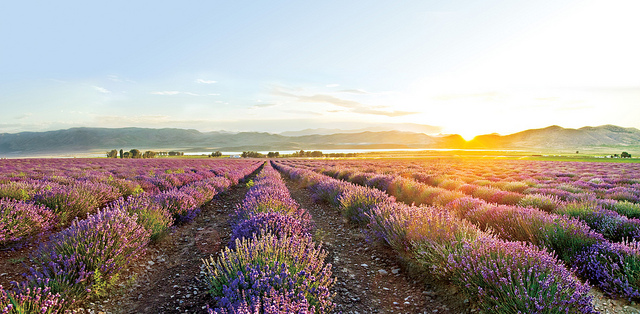 Lavender fields at the Young Living Farm in Utah