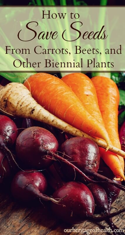 How to save seeds from carrots, beets, and other biennial plants